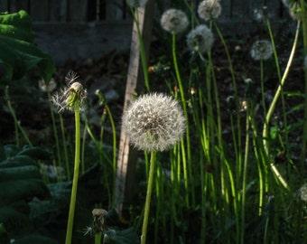 Digital Photography, Dandelion Fluff, Summer, 2015, Garden, 5x7, 8.5x11, 11x14, Nature, Flower, Fluff