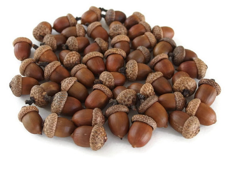 LARGE Acorns Extra Large Acorns Natural Acorns Real Acorns image 0