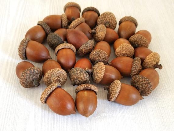 jumbo acorns extra large acorns natural acorns real acorns etsy