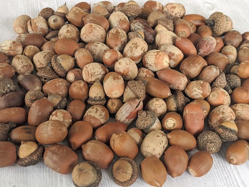 Squirrels Natural Acorns Real Acorns IMPERFECT Mixed Acorns image 0