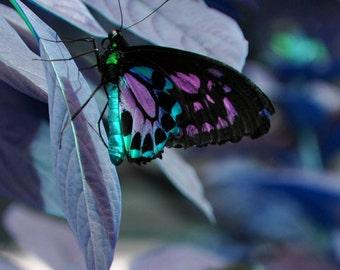 Mariposa grande en la impresión brillante Wonderland 8 x 10
