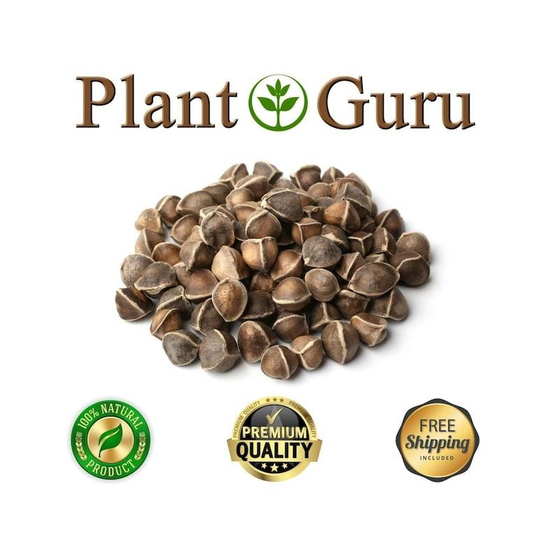 1000 Moringa Oleifera Seeds WINGLESS 10 oz  Organic Semillas de Moringa  Drumstick Tree Plant