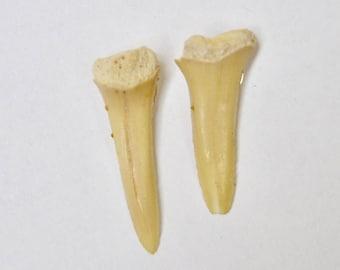 Sharks Tooth Stud Earrings, Sharks Tooth Jewelry