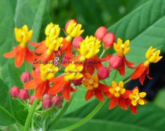Monarch Butterfly Assorted Milkweed Selection - 1/2 gram Packet Seed List - Choose Favorites or Purchase All and Save