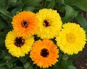 Calendula Fiesta Gitana Seeds - Edible Heirloom Pot Marigold - bin21