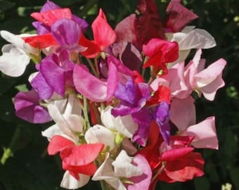 SWEET PEA Royal White Seeds F 285