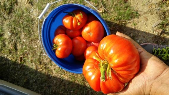 German Johnson Heirloom Tomato Seeds Many Packet Sizes Etsy