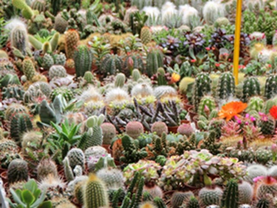 Cactus Garden Mix Choose Packet Size Trichocereus Opuntia Etsy