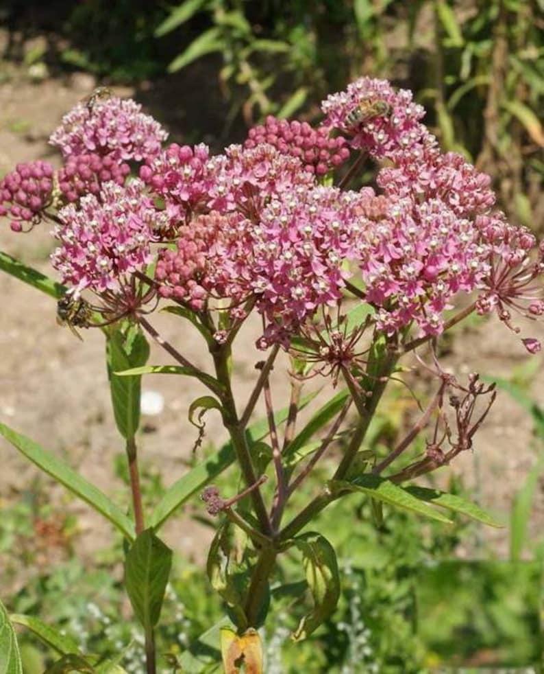 Rose Milkweed Seeds - Pink Swamp monarch butterfly weed monarch - binFR1