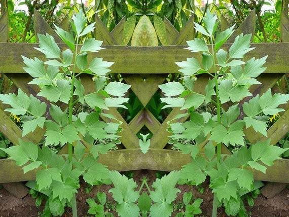 Lovage Herb Seeds Culinary Heirloom Bin194 Etsy