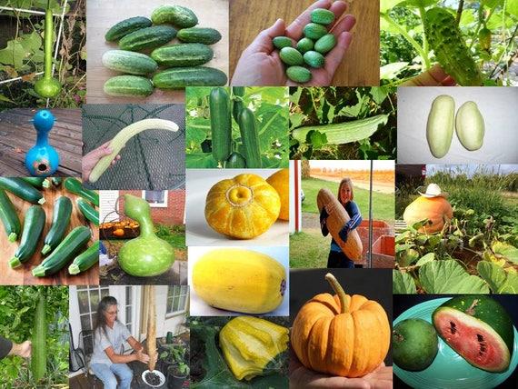 Garden & Patio 35x Mini Cucumber Sour Gherkin Seeds Plant Vegetables Garden Fresh #40 Plants, Seeds & Bulbs