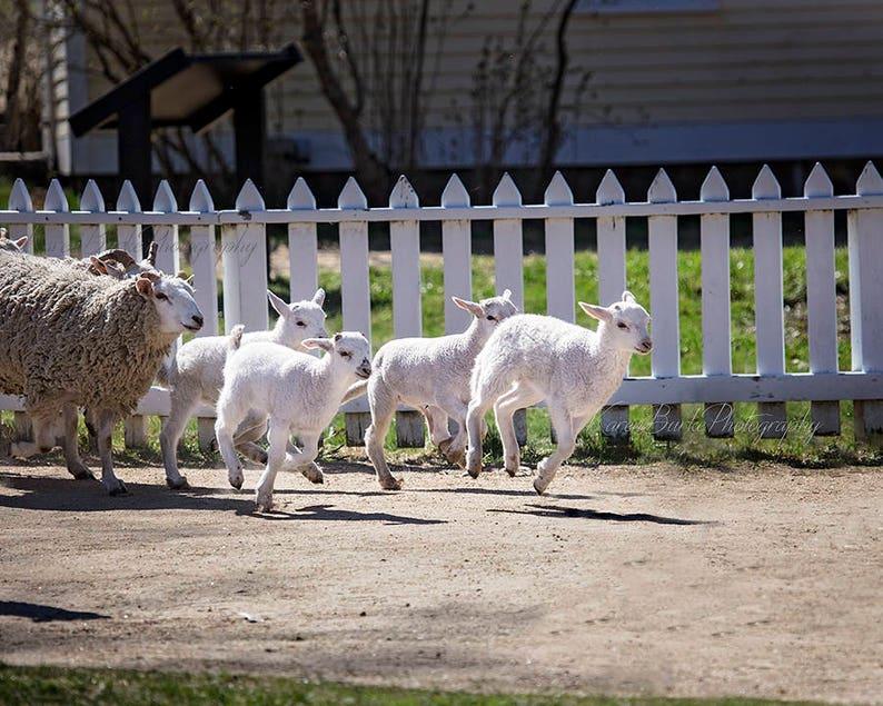 Cute Lambs, Baby Lamb print, Farm Life Print, Old Sturbridge Village,  Running Lambs, Baby Lambs, Animal Lover Gift, Whimsical Lambs, Babies