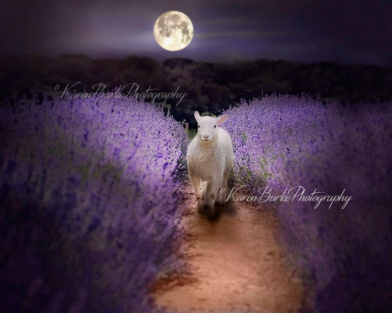 8e282055a14 White Lamb Print Lavender Field Moonlight Art Whimsical