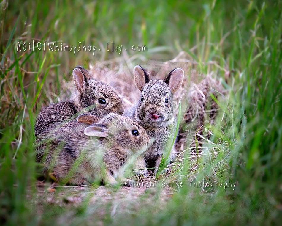 Baby Rabbits Print, Photography Print, Wildlife Photograph, Wild Bunnies,  Tiny bunny, Funny Rabbit, Nursery Art, Cute Babies, Adorable Art