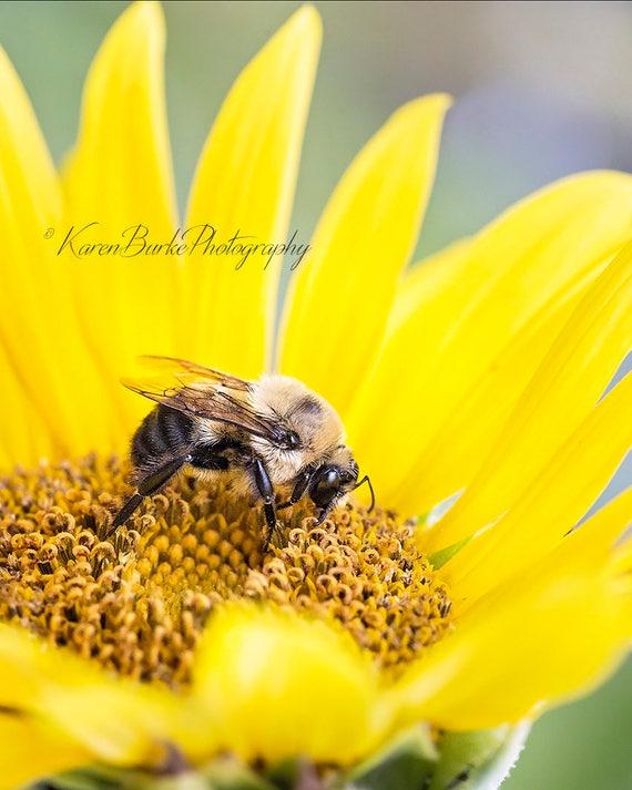 Pollination Art Macro Print Macro Photo of a Bee Pollinating a Sunflower Photography Bee Print Bee Close Up Bee Photo