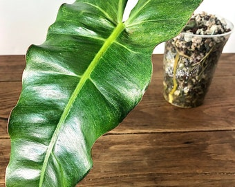 US Philodendron Paraiso Verde Rooted Established Rare Aroid