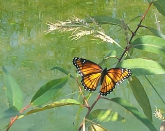 Monarch Above Water