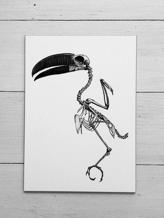 Original-Radierung von Tucan Vogel Anatomie. Skelett Anatomie
