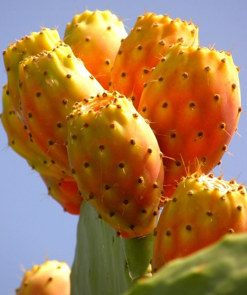 Prickly Pear Cactus Fruit Picture
