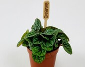 Peperomia - quot Greyhound quot