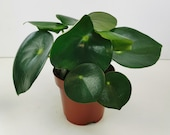 Peperomia Polybotrya Raindrop Houseplant - Two Sizes