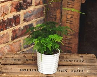 Asparagus Fern also known as Plumosa Fern Houseplant*