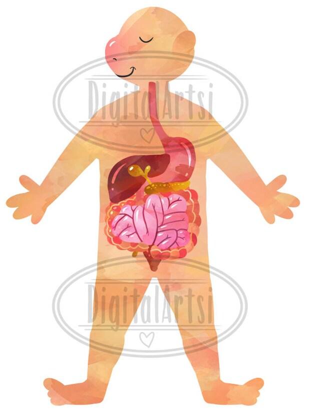 Aquarell menschlichen Anatomie Clipart Verdauungssystem | Etsy