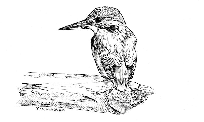 Ijsvogel Kingfisher Illustration Ink Drawing Original Etsy