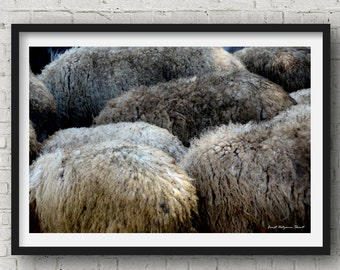 sheep photography - animal photography - modern photography - digital prints