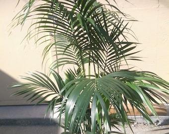 dee2fa55f62 Kentia Palm Plant in 10