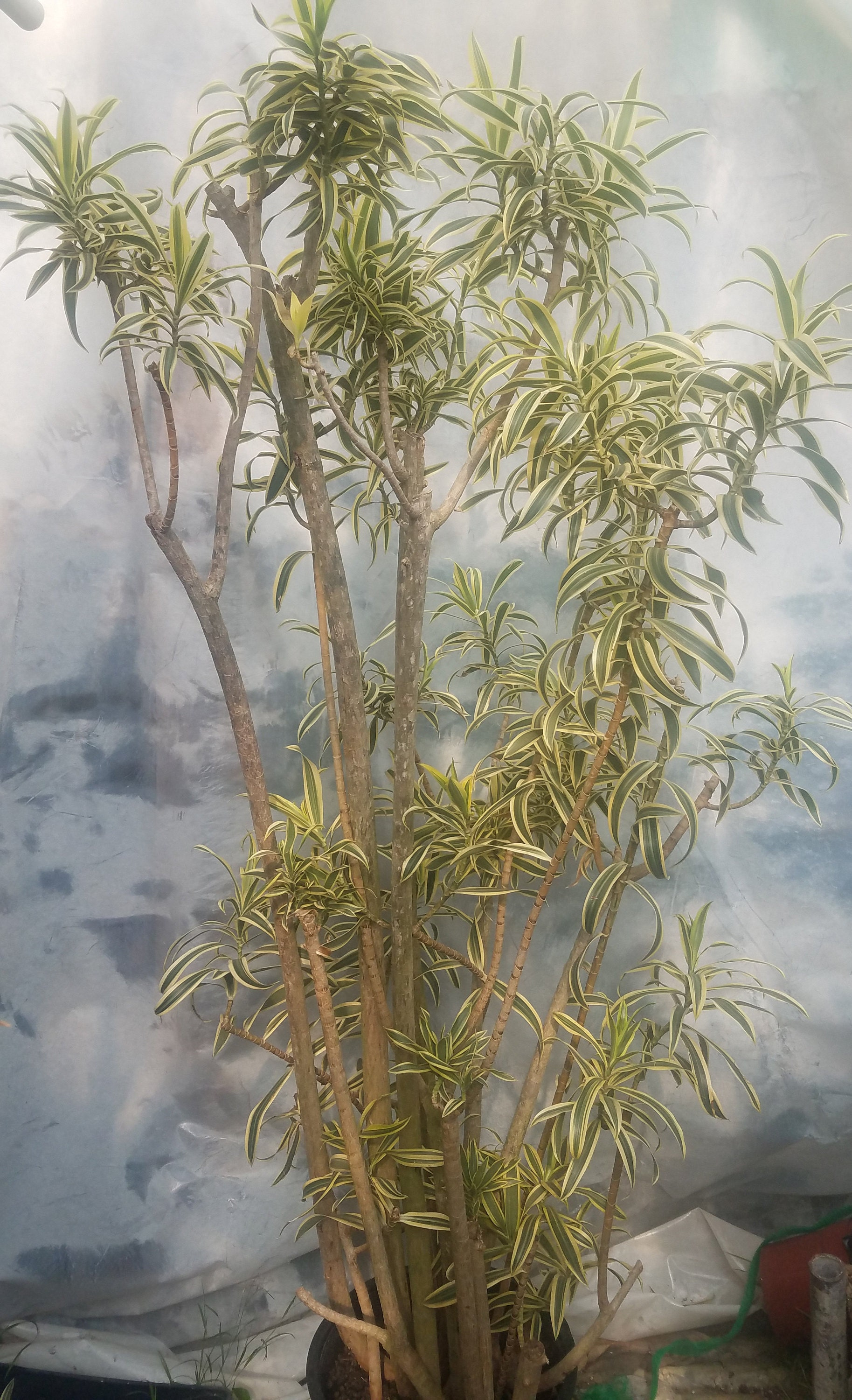 Dracaena Reflexa Plant In 14 Inch Pot Song Of India About 6 Feet Tall