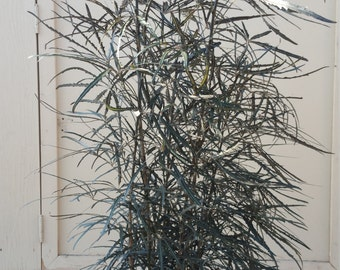 False Aralia Dizygotheca Elegantissima Plant in 14 Inch Pot - About 55 inches tall