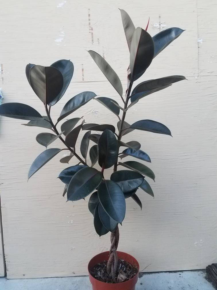 Braided Ficus Elastica Decora Rubber Tree Plant in 10 Pot