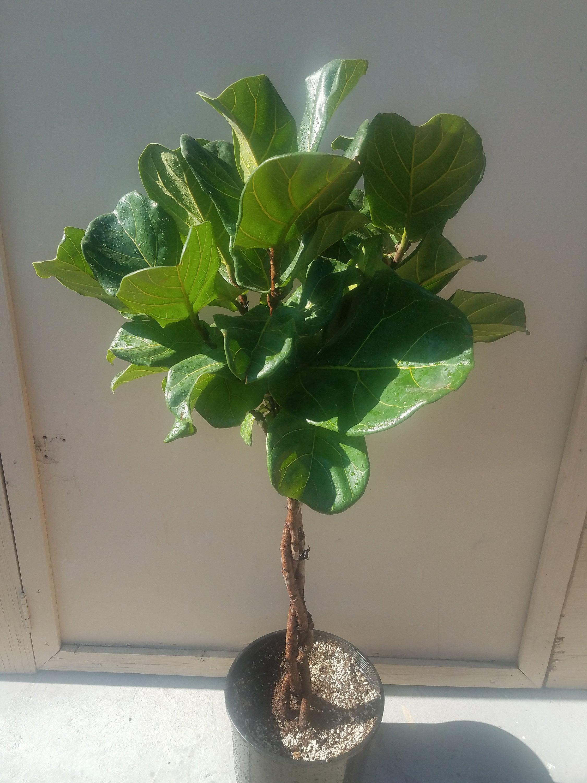 Tressé Ficus Lyrata arbre plante plante plante en Pot - également appelé Fiddle feuille figue ou Pandurata - 12