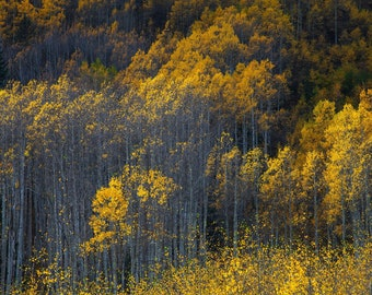 Aspen tree photo – Gold aspen leaves photograph – Colorado autumn leaves landscape – Colorado souvenir canvas – Fall color yellow trees