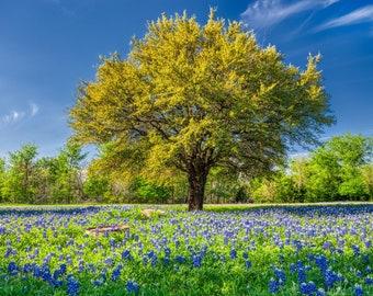 Texas bluebonnet wildflower photo – McKinney State Park photo – Texas wildflower canvas print – Framed unframed print – Field of flowers art