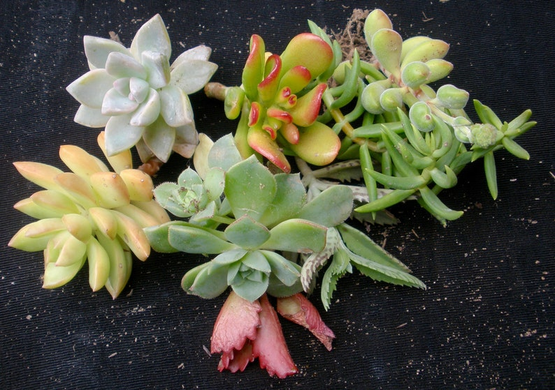 Set Of 5 Fully Rooted All Different Succulent Starter Plants Etsy