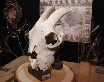 Beautiful Goat Skull