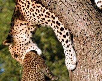 Leopard Mother
