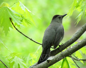 Digital Download, Bird Photography, Nature Photography, Printable Art, Digital Photograph, Digital Image, Gray Catbird in the Trees