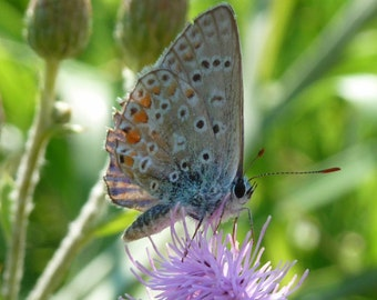 Butterfly (Polyommatus icarus) Flower Photo, Nature Photography