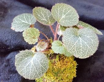Small Strawberry Begonia Kokedama