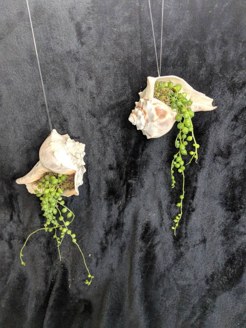 Live succulent String of Pearls in real seashell finished with moss