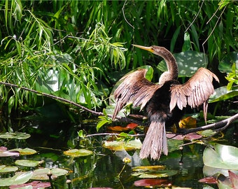 Anhinga in the Everglades, bird, swamp, water fowl, lily pads, wall art, photography, landscape, Florida, nature