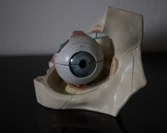 Vintage anatomical model of a Eye these models, used for education classroom purposes 50/60, by Deutsches Hygienemuseum Dresden