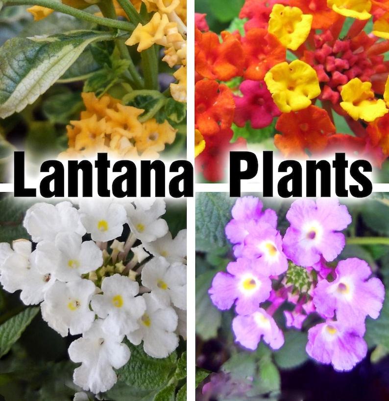 Lantana Plants Lavender White Gold Elegance Etsy