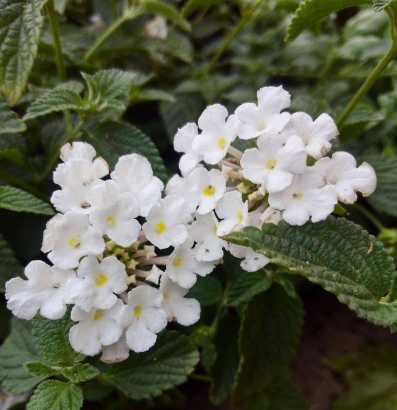 Trailing White Lantana Plant Etsy