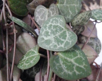 String of Hearts - Chain of Hearts - Rosary Vine - Ceropegia Woodii - Non Variegated