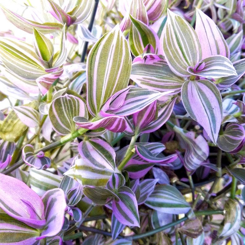 Wandering Jew Lilac Tradescantia Fluminensis Rare Starter Etsy