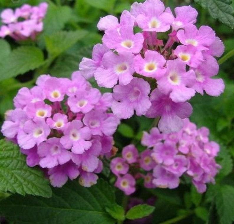 Trailing Lavender Lantana Plant In 25 Inch Pot Etsy